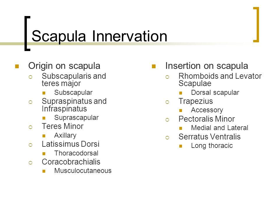 Scapula Innervation Origin on scapula  Subscapularis and teres major Subscapular  Supraspinatus and Infraspinatus Suprascapular  Teres Minor Axilla