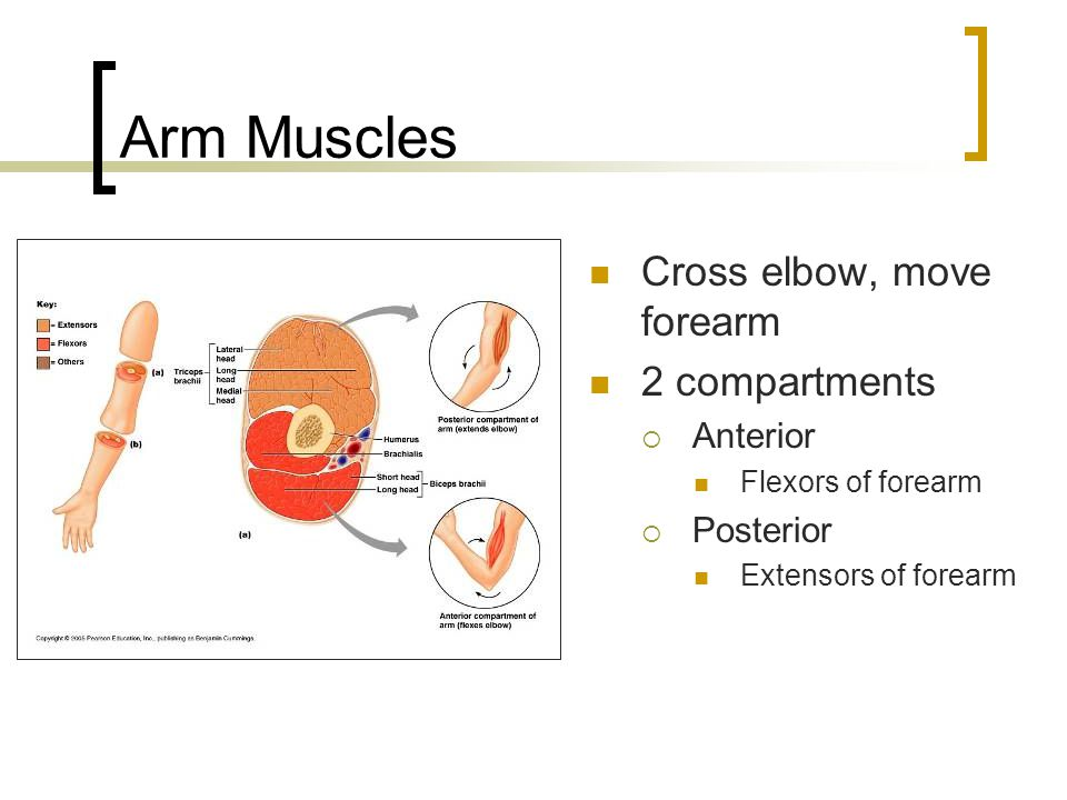 Arm Muscles Cross elbow, move forearm 2 compartments  Anterior Flexors of forearm  Posterior Extensors of forearm
