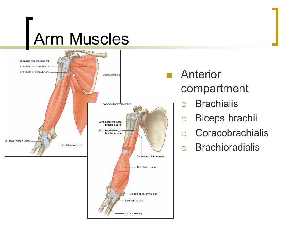 Arm Muscles Anterior compartment  Brachialis  Biceps brachii  Coracobrachialis  Brachioradialis