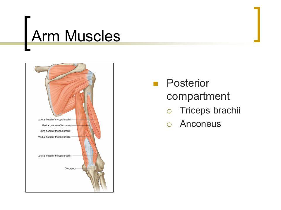 Arm Muscles Posterior compartment  Triceps brachii  Anconeus