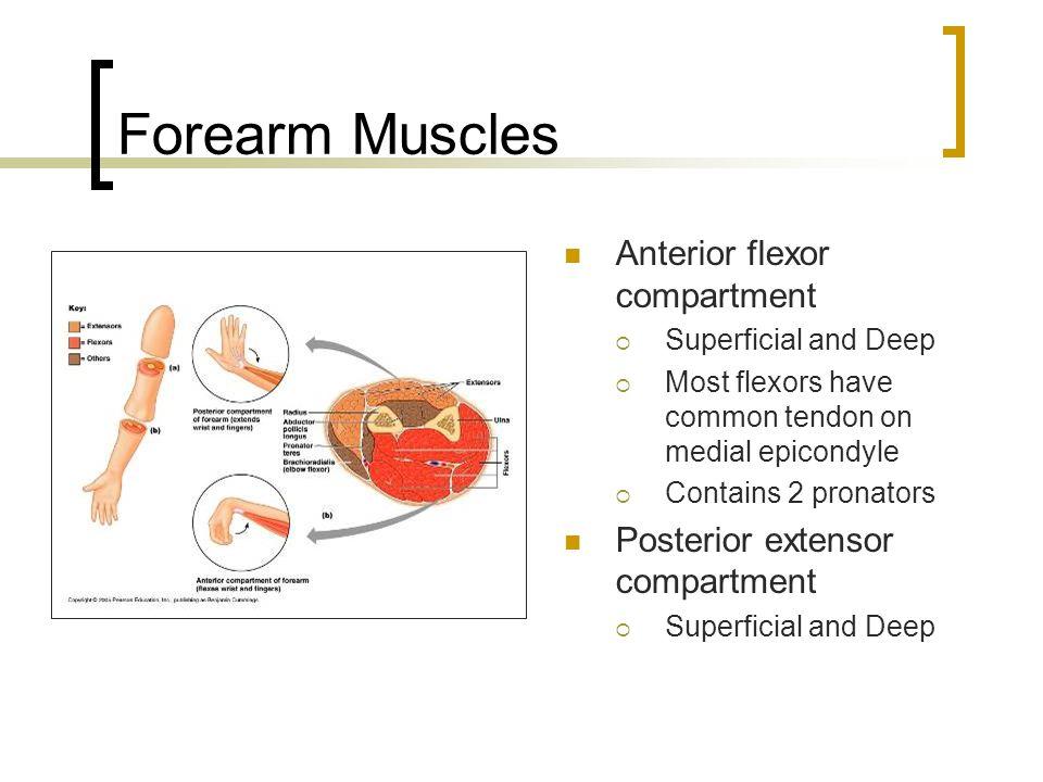Forearm Muscles Anterior flexor compartment  Superficial and Deep  Most flexors have common tendon on medial epicondyle  Contains 2 pronators Poste