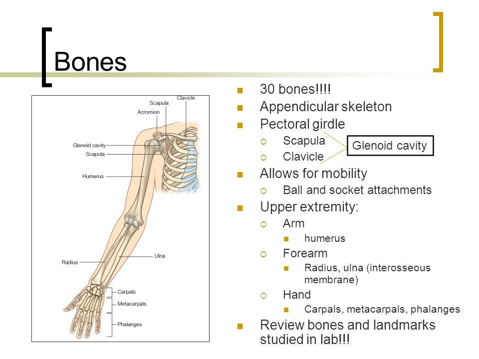 Blood Supply - Arteries Subclavian (neck) Axillary (armpit)  Subscapular  Circumflex humeral arteries Brachial (arm)  Deep brachial Radial (forearm) Ulnar (forearm)  Common Interosseous Superficial & Deep Palmar arches  Digital