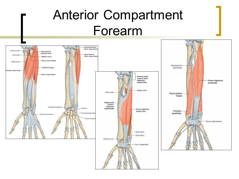 Anterior Compartment Forearm