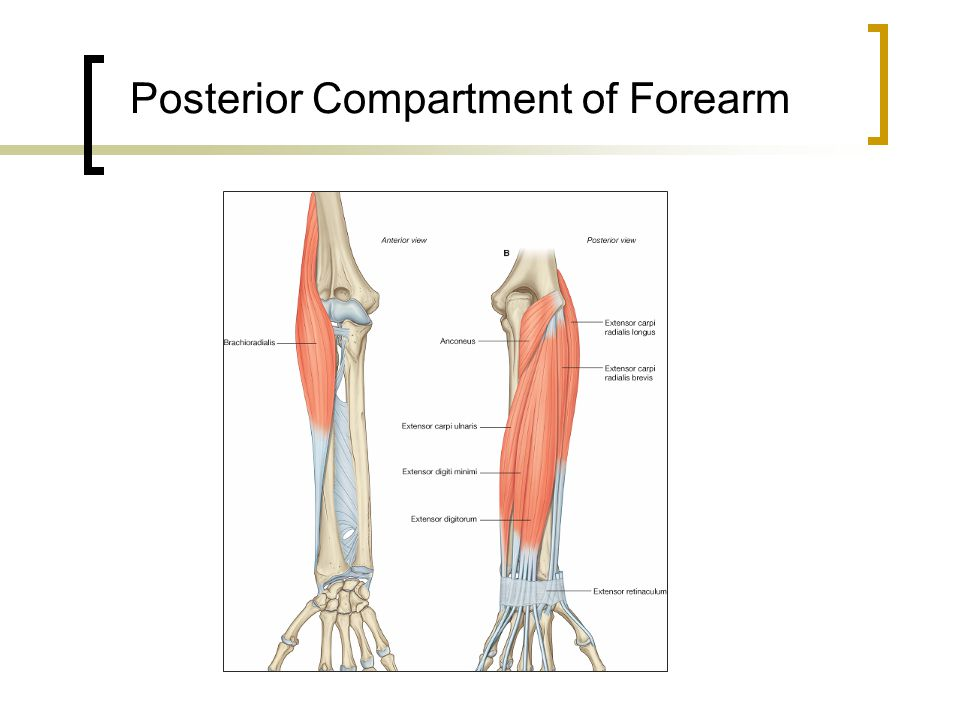 Posterior Compartment of Forearm