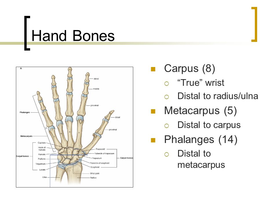 "Hand Bones Carpus (8)  ""True"" wrist  Distal to radius/ulna Metacarpus (5)  Distal to carpus Phalanges (14)  Distal to metacarpus"