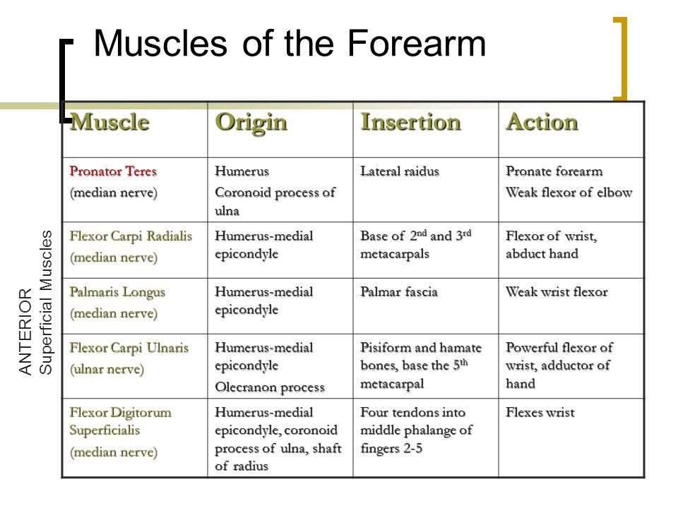 Muscles of the Forearm MuscleOriginInsertionAction Pronator Teres (median nerve) Humerus Coronoid process of ulna Lateral raidus Pronate forearm Weak