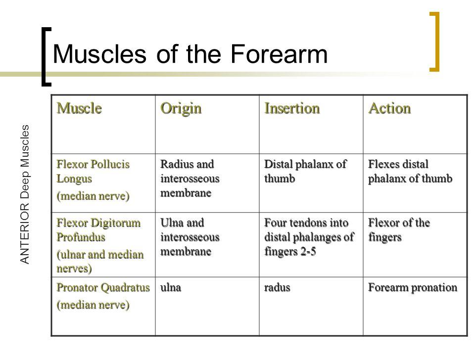 Muscles of the Forearm MuscleOriginInsertionAction Flexor Pollucis Longus (median nerve) Radius and interosseous membrane Distal phalanx of thumb Flex