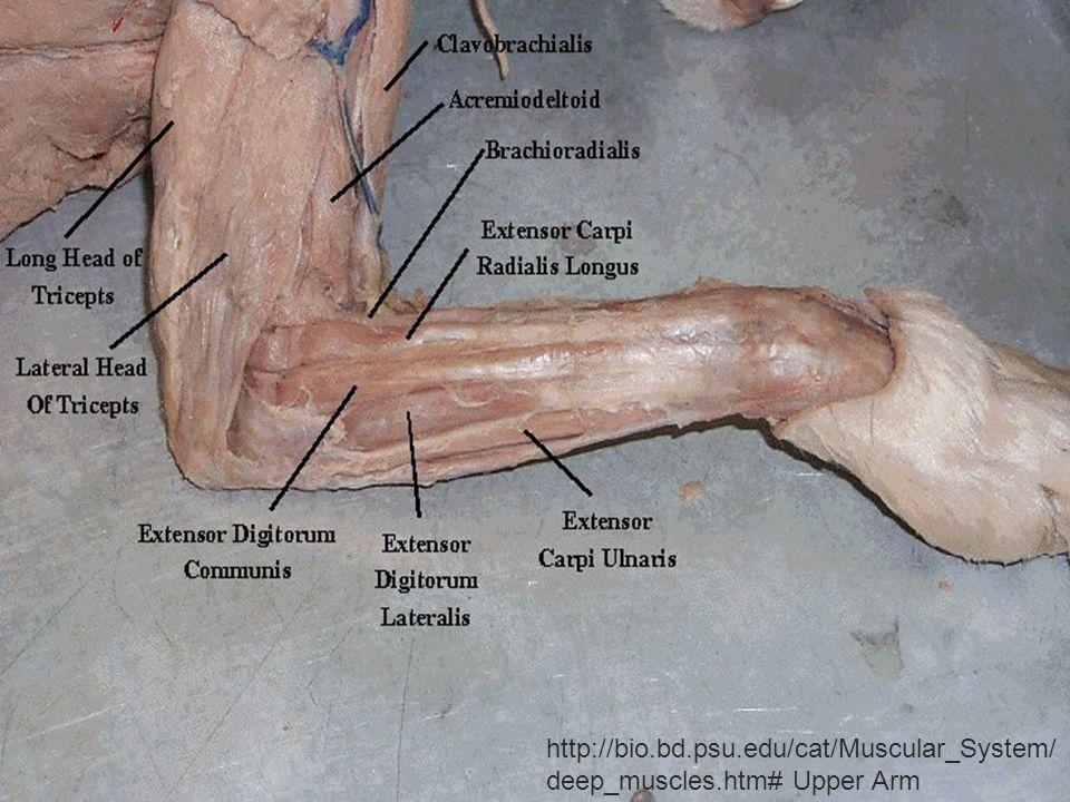 http://bio.bd.psu.edu/cat/Muscular_System/ deep_muscles.htm# Upper Arm
