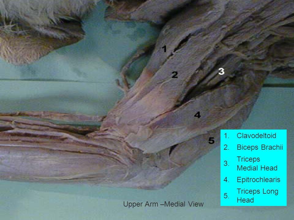 1.Clavodeltoid 2.Biceps Brachii 3. Triceps Medial Head 4.Epitrochlearis 5. Triceps Long Head Upper Arm –Medial View