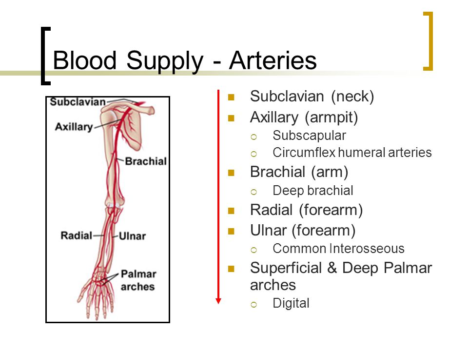 Blood Supply - Arteries Subclavian (neck) Axillary (armpit)  Subscapular  Circumflex humeral arteries Brachial (arm)  Deep brachial Radial (forearm