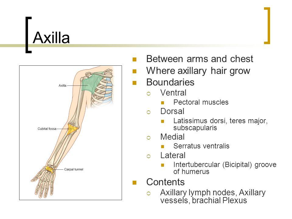 Axilla Between arms and chest Where axillary hair grow Boundaries  Ventral Pectoral muscles  Dorsal Latissimus dorsi, teres major, subscapularis  M