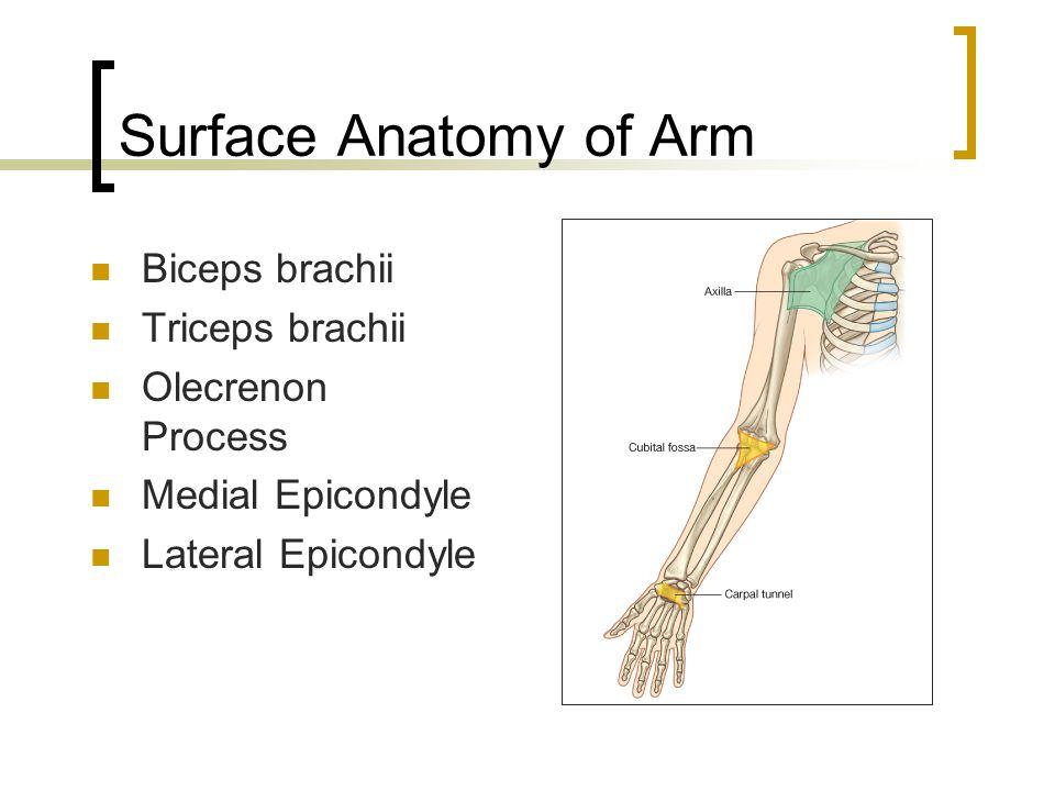 Surface Anatomy of Arm Biceps brachii Triceps brachii Olecrenon Process Medial Epicondyle Lateral Epicondyle