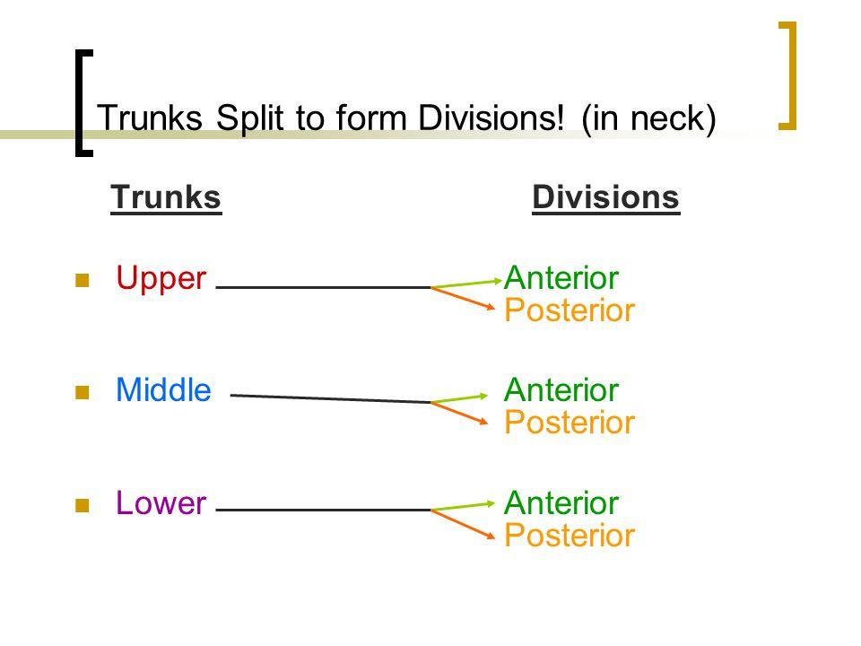 Trunks Split to form Divisions! (in neck) Trunks Divisions UpperAnterior Posterior MiddleAnterior Posterior LowerAnterior Posterior