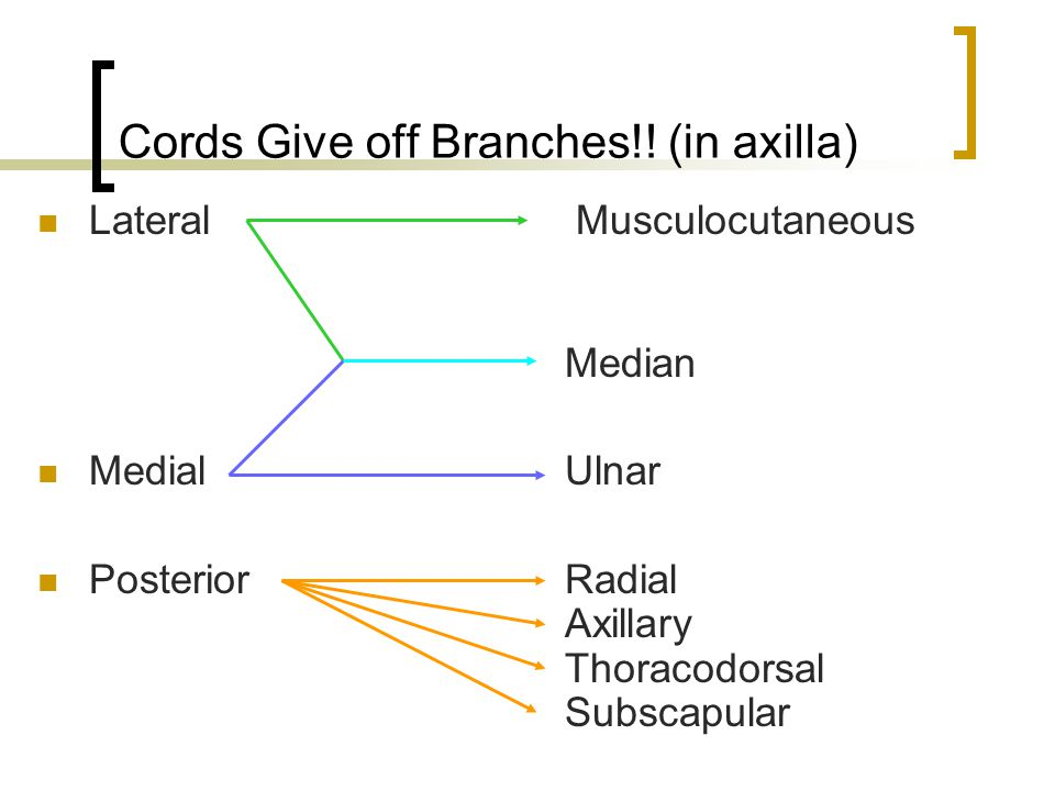Cords Give off Branches!! (in axilla) Lateral Musculocutaneous Median MedialUlnar PosteriorRadial Axillary Thoracodorsal Subscapular