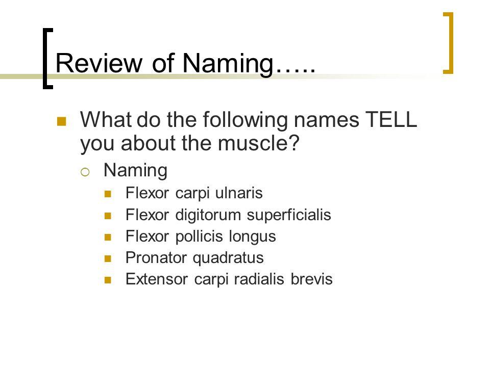 Review of Naming….. What do the following names TELL you about the muscle?  Naming Flexor carpi ulnaris Flexor digitorum superficialis Flexor pollici