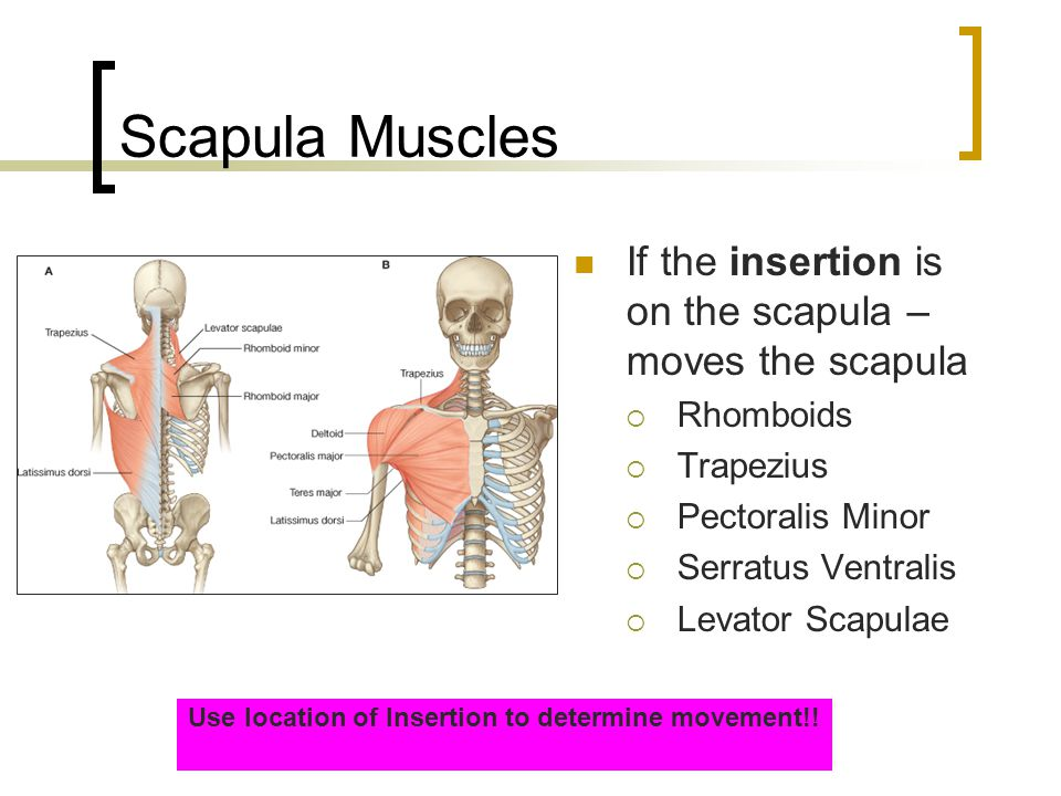 Muscles That Move the Forearm MuscleOriginInsertionAction Supinator (post.