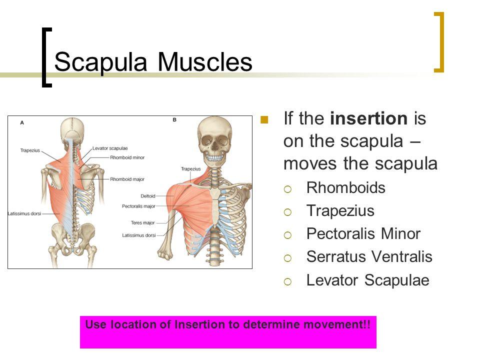 Scapula Muscles If the insertion is on the scapula – moves the scapula  Rhomboids  Trapezius  Pectoralis Minor  Serratus Ventralis  Levator Scapu