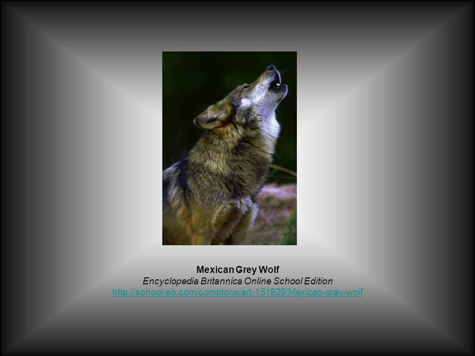 Mexican Grey Wolf Encyclopedia Britannica Online School Edition http://school.eb.com/comptons/art-151929/Mexican-gray-wolf http://school.eb.com/comptons/art-151929/Mexican-gray-wolf