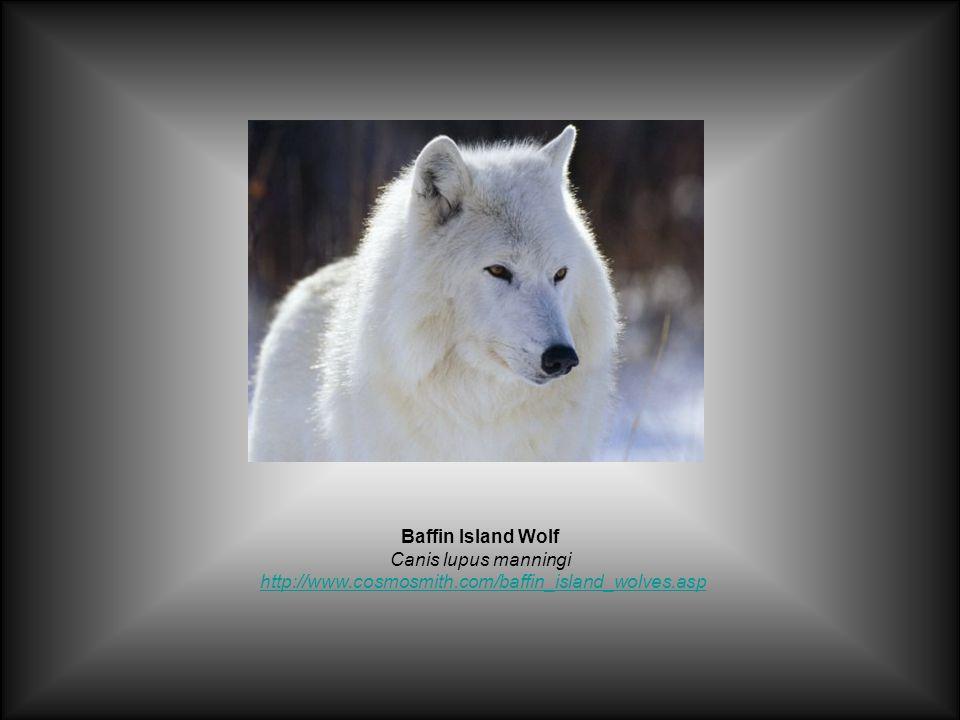 Baffin Island Wolf Canis lupus manningi http://www.cosmosmith.com/baffin_island_wolves.asphttp://www.cosmosmith.com/baffin_island_wolves.asp