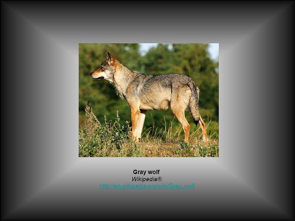 Gray wolf Wikipedia® http://en.wikipedia.org/wiki/Gray_wolfhttp://en.wikipedia.org/wiki/Gray_wolf