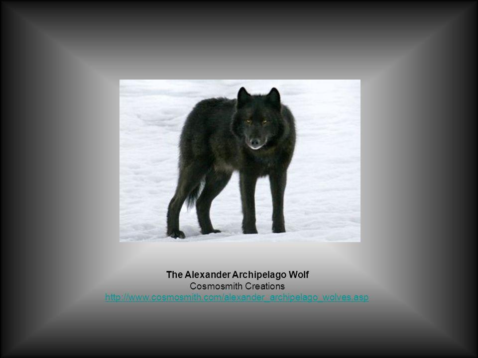 The Alexander Archipelago Wolf Cosmosmith Creations http://www.cosmosmith.com/alexander_archipelago_wolves.asp http://www.cosmosmith.com/alexander_archipelago_wolves.asp