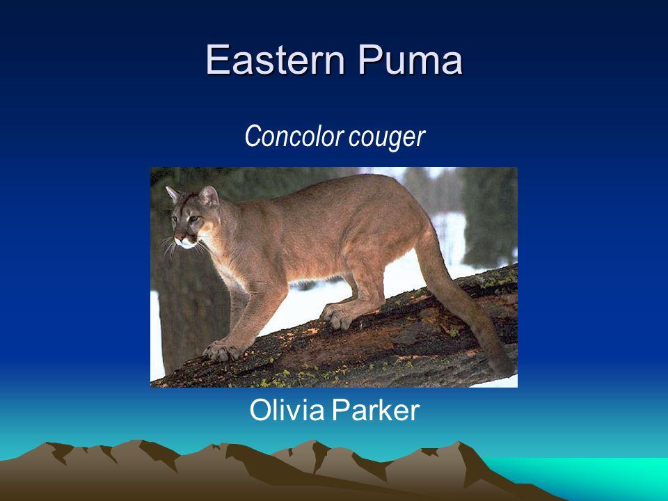 Eastern Puma Concolor couger Olivia Parker