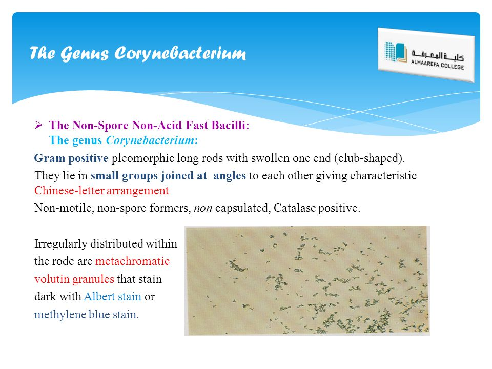  The Non-Spore Non-Acid Fast Bacilli: The genus Corynebacterium: Gram positive pleomorphic long rods with swollen one end (club-shaped). They lie in