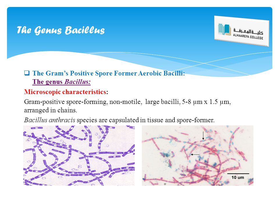  The Gram's Positive Spore Former Aerobic Bacilli: The genus Bacillus: Microscopic characteristics: Gram-positive spore-forming, non-motile, large ba
