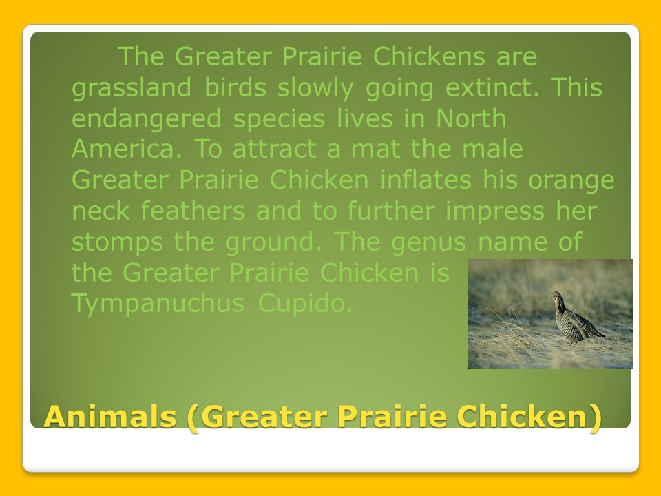 Animals (Greater Prairie Chicken) The Greater Prairie Chickens are grassland birds slowly going extinct.