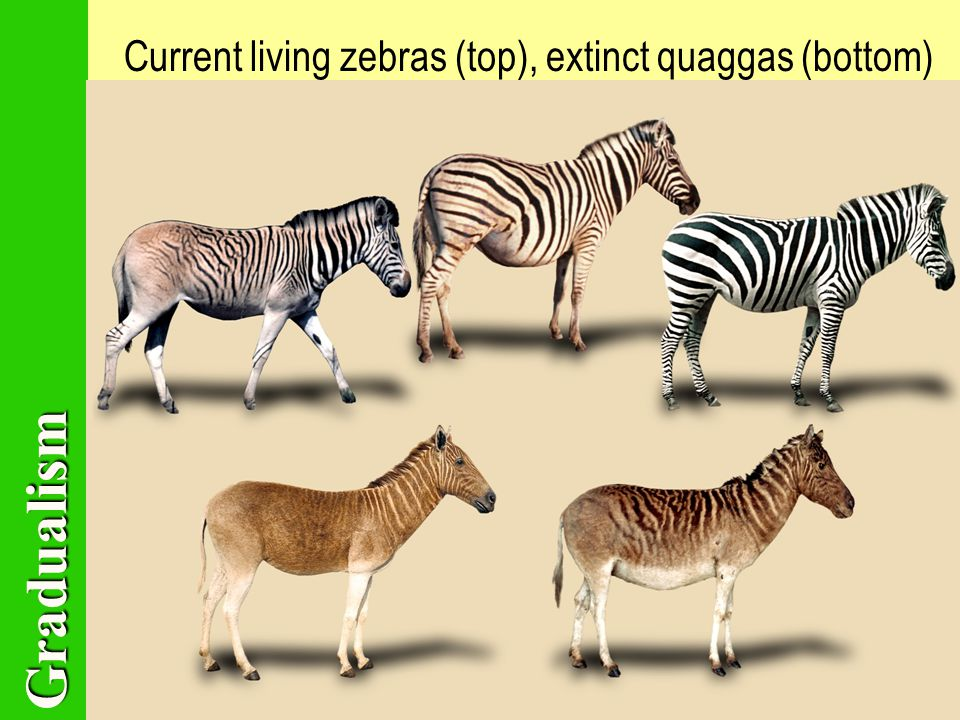 Gradualism Current living zebras (top), extinct quaggas (bottom)