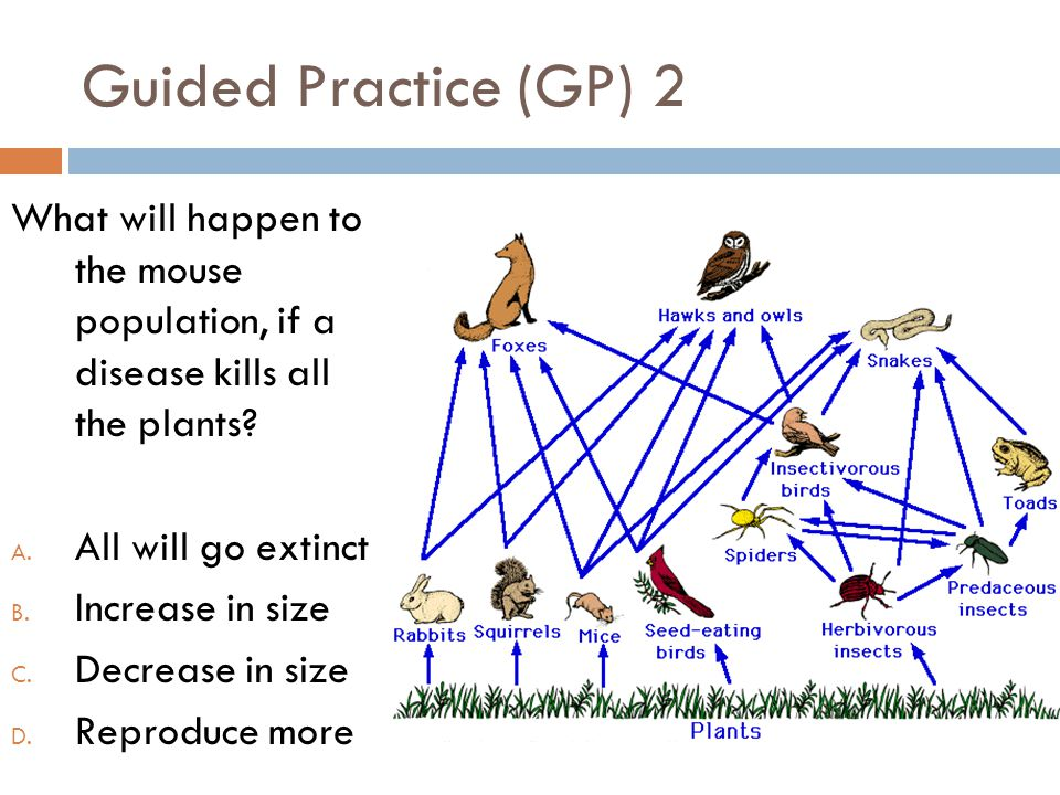 Guided Practice (GP) 2 What will happen to the mouse population, if a disease kills all the plants? A. All will go extinct B. Increase in size C. Decr