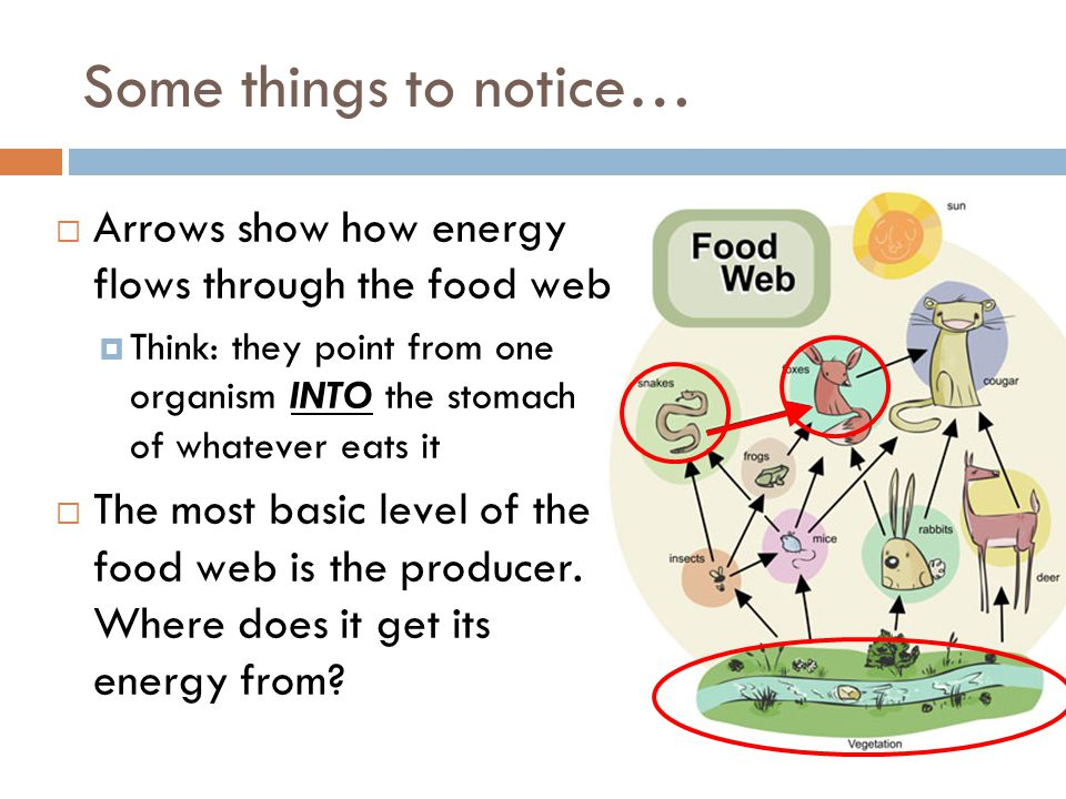  Arrows show how energy flows through the food web  Think: they point from one organism INTO the stomach of whatever eats it  The most basic level