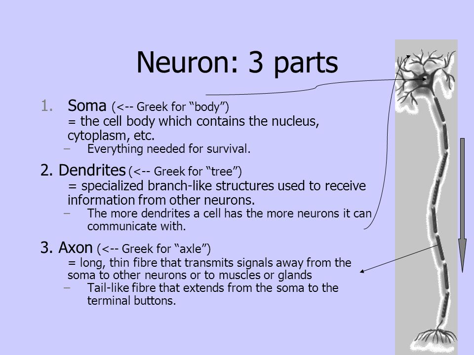 "Neuron: 3 parts 1.Soma (<-- Greek for ""body"") = the cell body which contains the nucleus, cytoplasm, etc. –Everything needed for survival. 2. Dendrite"