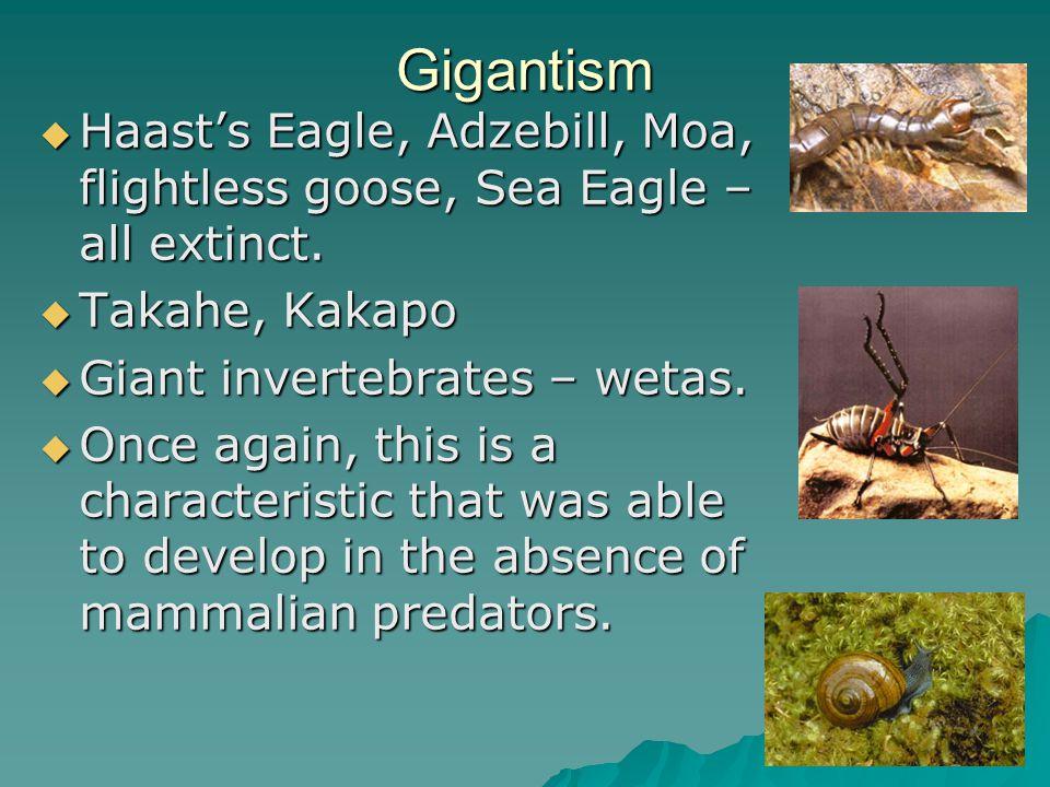 Gigantism  Haast's Eagle, Adzebill, Moa, flightless goose, Sea Eagle – all extinct.