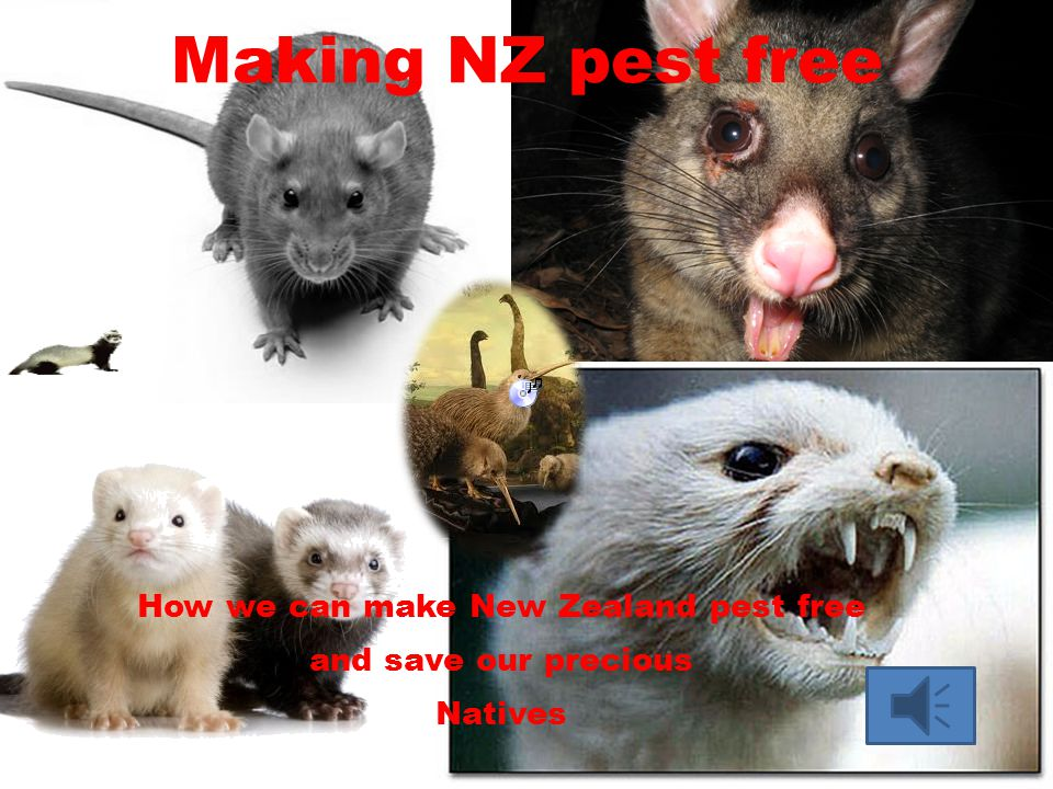 Making NZ pest free How we can make New Zealand pest free and save our precious Natives