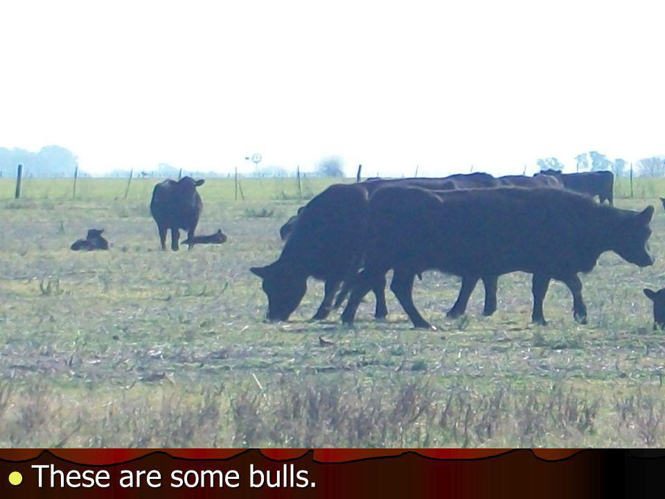 These are some bulls. These are some bulls.