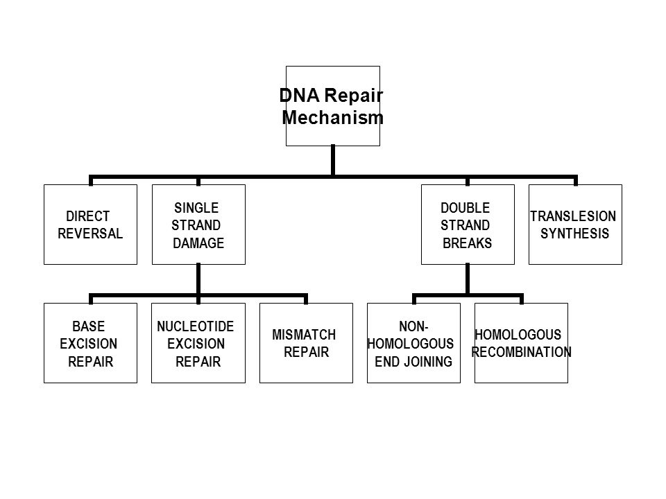 DNA Repair Mechanism DIRECT REVERSAL SINGLE STRAND DAMAGE BASE EXCISION REPAIR NUCLEOTIDE EXCISION REPAIR MISMATCH REPAIR DOUBLE STRAND BREAKS NON- HO