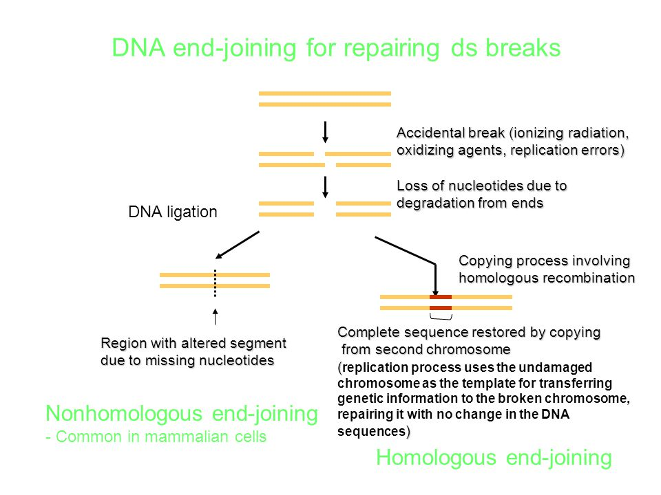DNA end-joining for repairing ds breaks Accidental break (ionizing radiation, oxidizing agents, replication errors) Loss of nucleotides due to degrada