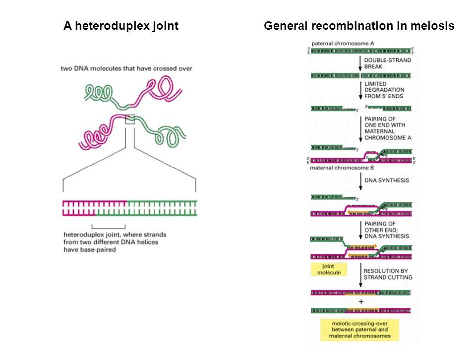 A heteroduplex jointGeneral recombination in meiosis