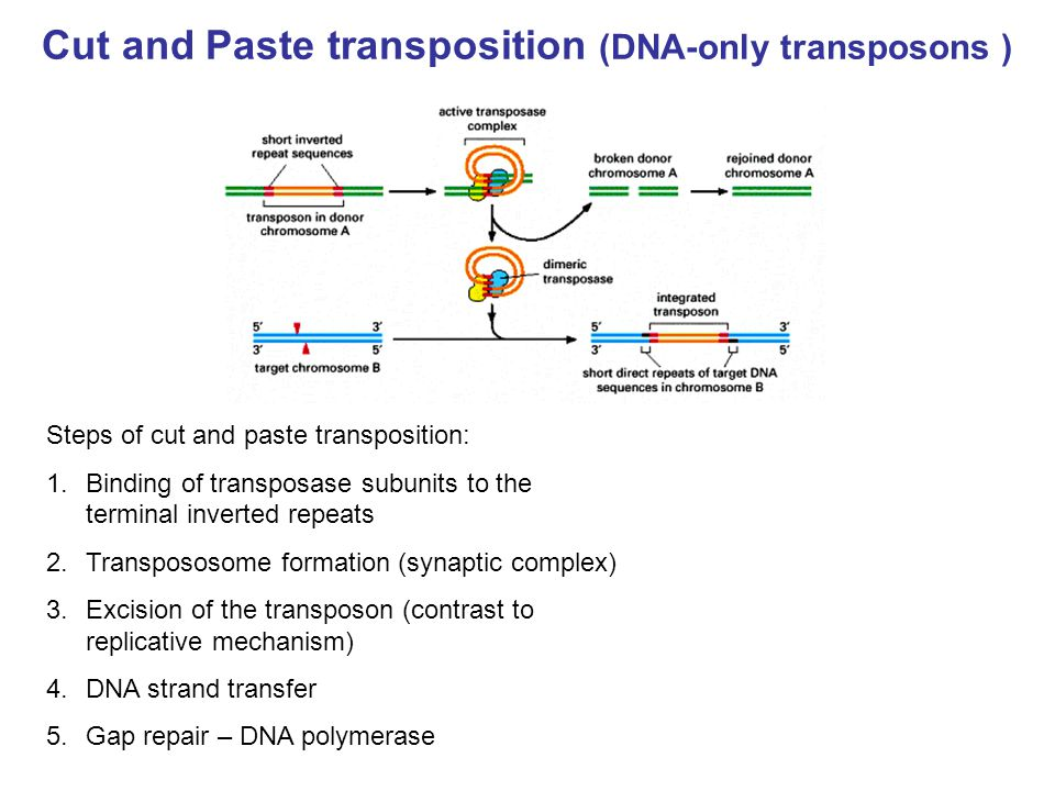 Cut and Paste transposition (DNA-only transposons ) Steps of cut and paste transposition: 1.Binding of transposase subunits to the terminal inverted r