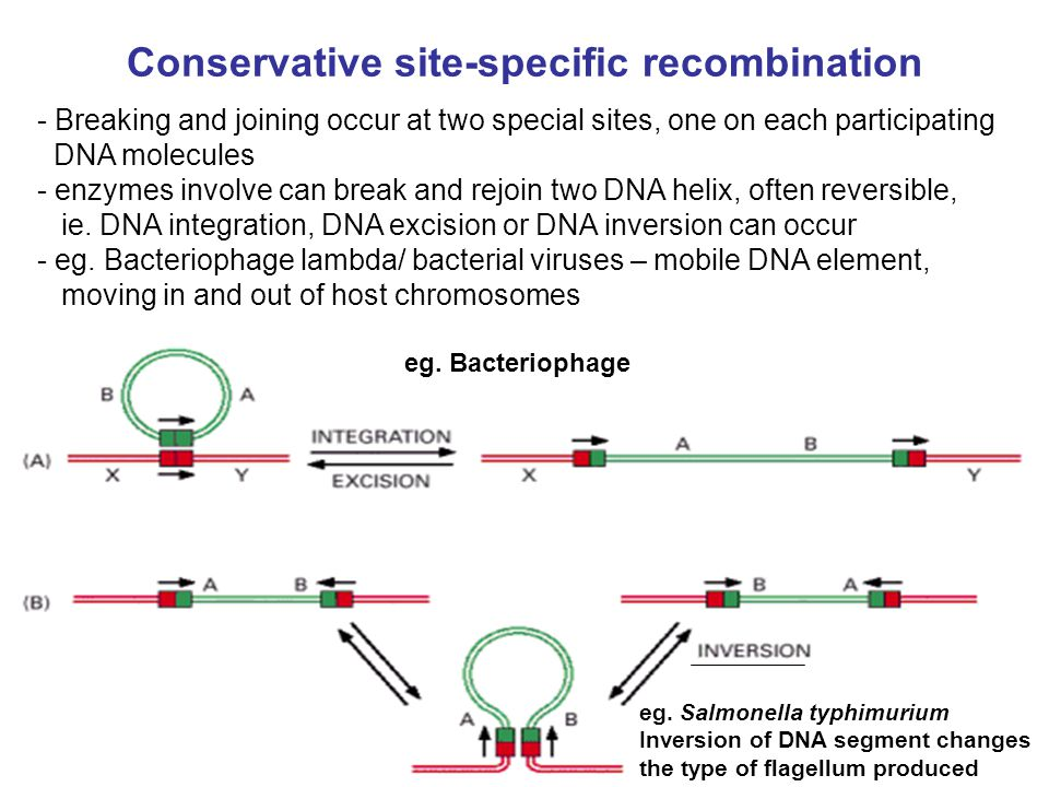 Conservative site-specific recombination - Breaking and joining occur at two special sites, one on each participating DNA molecules - enzymes involve