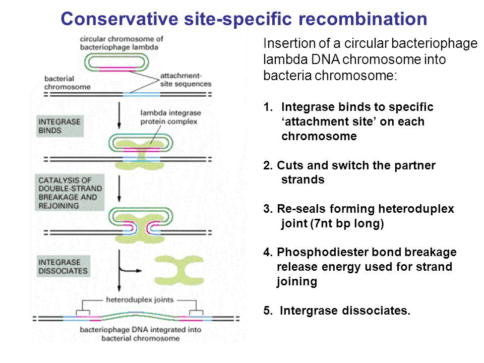 Conservative site-specific recombination Insertion of a circular bacteriophage lambda DNA chromosome into bacteria chromosome: 1.Integrase binds to sp