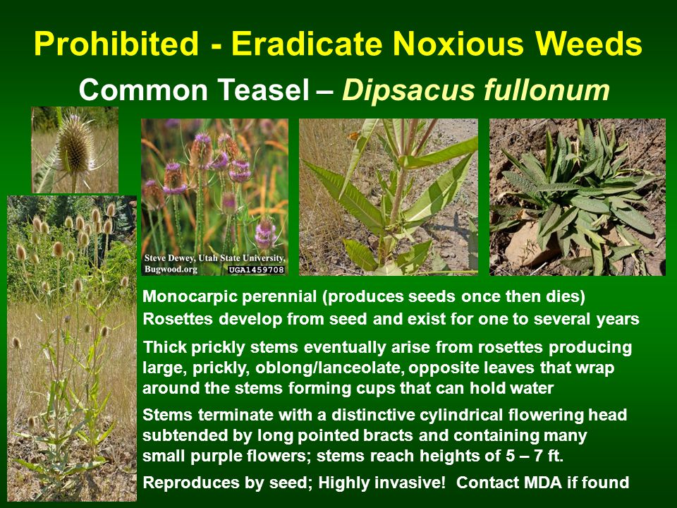 Prohibited - Eradicate Noxious Weeds Common Teasel – Dipsacus fullonum Monocarpic perennial (produces seeds once then dies) Rosettes develop from seed and exist for one to several years Stems terminate with a distinctive cylindrical flowering head subtended by long pointed bracts and containing many small purple flowers; stems reach heights of 5 – 7 ft.