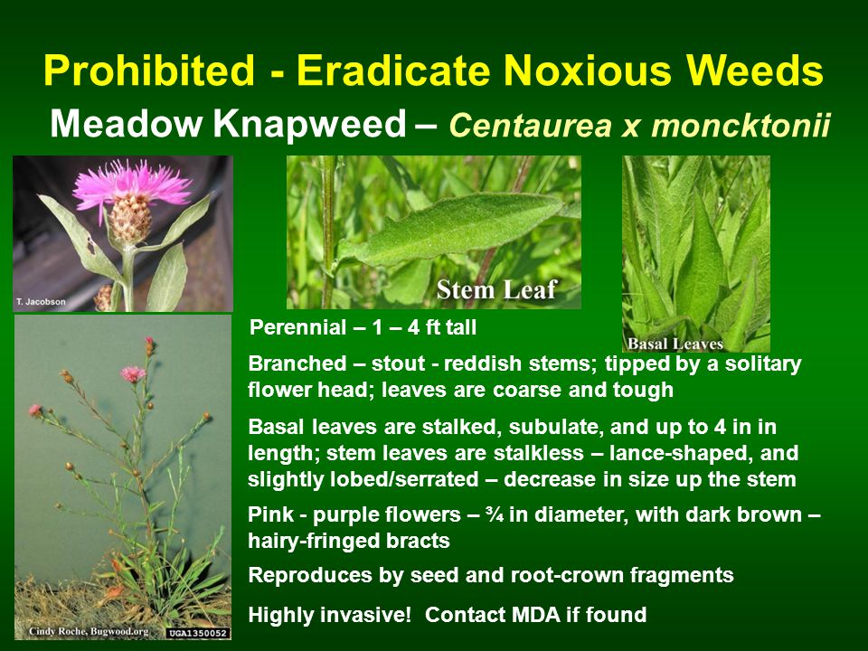 Prohibited - Eradicate Noxious Weeds Meadow Knapweed – Centaurea x moncktonii Perennial – 1 – 4 ft tall Branched – stout - reddish stems; tipped by a solitary flower head; leaves are coarse and tough Basal leaves are stalked, subulate, and up to 4 in in length; stem leaves are stalkless – lance-shaped, and slightly lobed/serrated – decrease in size up the stem Reproduces by seed and root-crown fragments Pink - purple flowers – ¾ in diameter, with dark brown – hairy-fringed bracts Highly invasive.