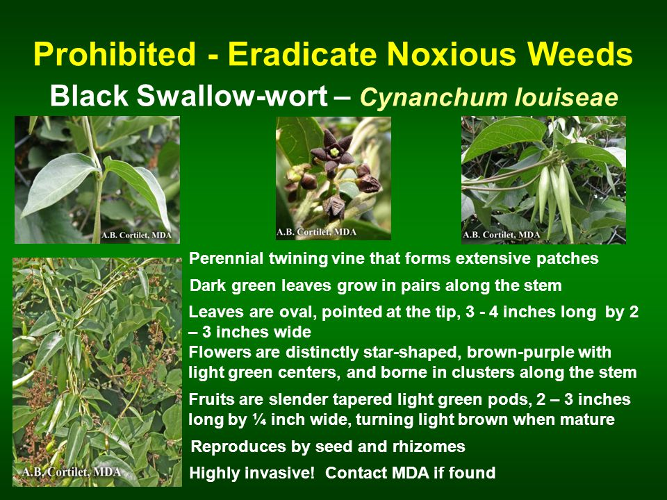 Prohibited - Eradicate Noxious Weeds Black Swallow-wort – Cynanchum louiseae Perennial twining vine that forms extensive patches Dark green leaves grow in pairs along the stem Leaves are oval, pointed at the tip, 3 - 4 inches long by 2 – 3 inches wide Reproduces by seed and rhizomes Flowers are distinctly star-shaped, brown-purple with light green centers, and borne in clusters along the stem Highly invasive.