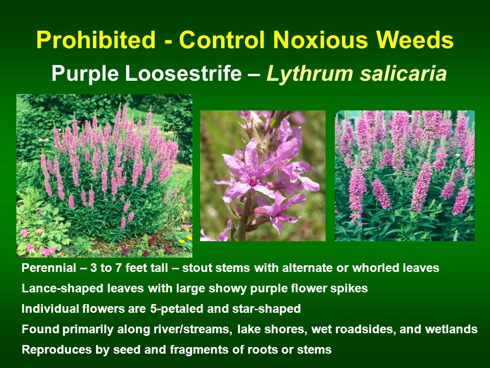 Prohibited - Control Noxious Weeds Purple Loosestrife – Lythrum salicaria Perennial – 3 to 7 feet tall – stout stems with alternate or whorled leaves Lance-shaped leaves with large showy purple flower spikes Found primarily along river/streams, lake shores, wet roadsides, and wetlands Reproduces by seed and fragments of roots or stems Individual flowers are 5-petaled and star-shaped