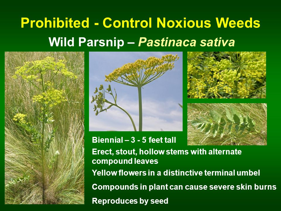 Prohibited - Control Noxious Weeds Wild Parsnip – Pastinaca sativa Biennial – 3 - 5 feet tall Erect, stout, hollow stems with alternate compound leaves Yellow flowers in a distinctive terminal umbel Reproduces by seed Compounds in plant can cause severe skin burns