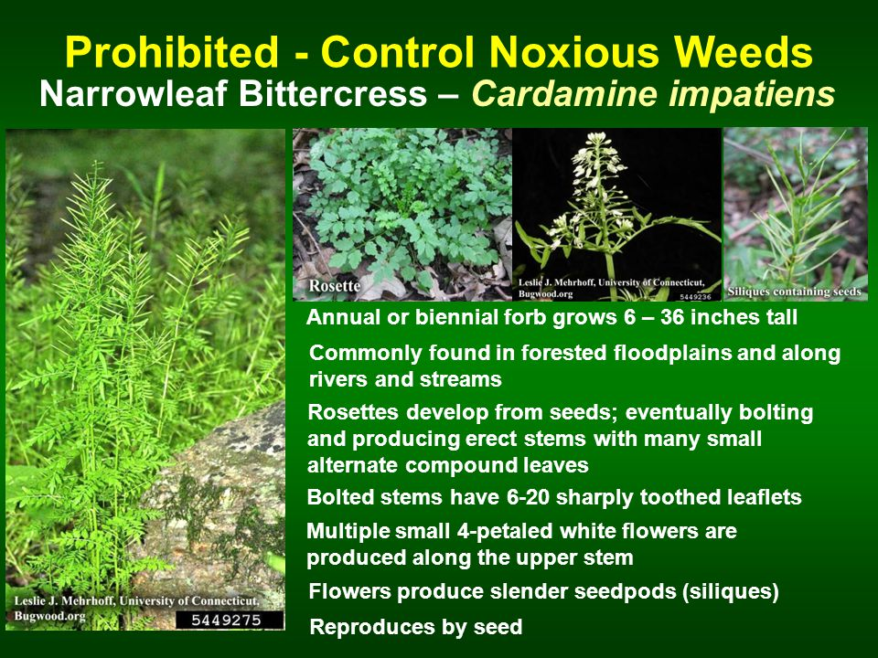 Prohibited - Control Noxious Weeds Narrowleaf Bittercress – Cardamine impatiens Annual or biennial forb grows 6 – 36 inches tall Rosettes develop from seeds; eventually bolting and producing erect stems with many small alternate compound leaves Bolted stems have 6-20 sharply toothed leaflets Reproduces by seed Multiple small 4-petaled white flowers are produced along the upper stem Flowers produce slender seedpods (siliques) Commonly found in forested floodplains and along rivers and streams