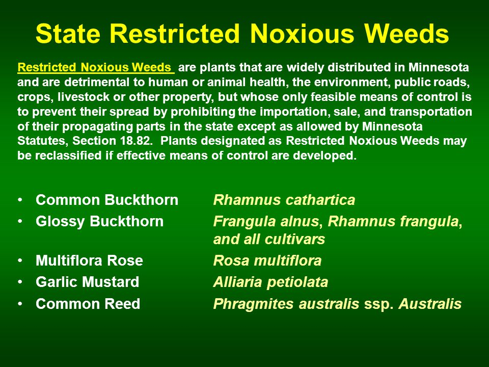 State Restricted Noxious Weeds Common BuckthornRhamnus cathartica Glossy Buckthorn Frangula alnus, Rhamnus frangula, and all cultivars Multiflora RoseRosa multiflora Garlic MustardAlliaria petiolata Common Reed Phragmites australis ssp.