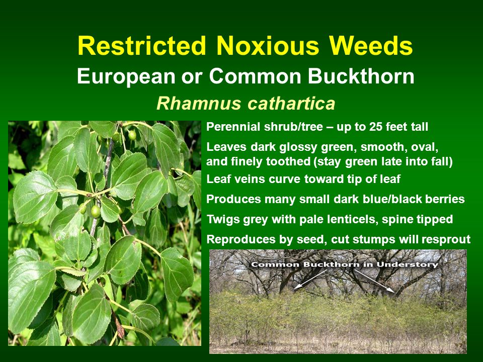 Restricted Noxious Weeds European or Common Buckthorn Rhamnus cathartica Perennial shrub/tree – up to 25 feet tall Leaves dark glossy green, smooth, oval, and finely toothed (stay green late into fall) Leaf veins curve toward tip of leaf Produces many small dark blue/black berries Reproduces by seed, cut stumps will resprout Twigs grey with pale lenticels, spine tipped